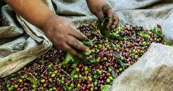 Cafeicultor com selo de qualidade da Syngenta está na lista suja do trabalho escravo